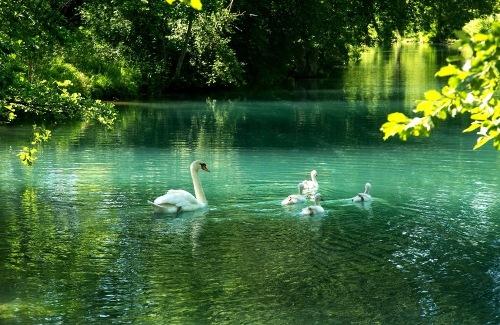 Анімаційна шпалера - Лебеді в ставку