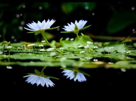 Анімаційна шпалера на робочий стіл - Квіти лотоса
